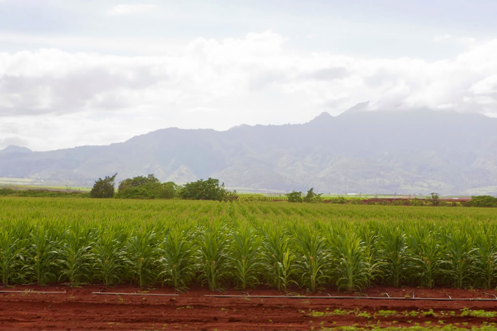 photo of a monocultured field in a Hawaiian valley