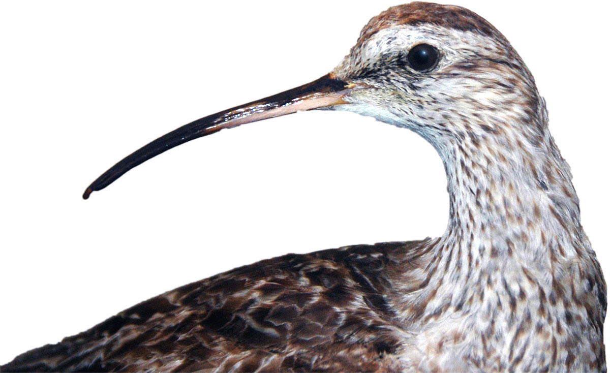 Eskimo curlew (Numenius borealis), now extinct.