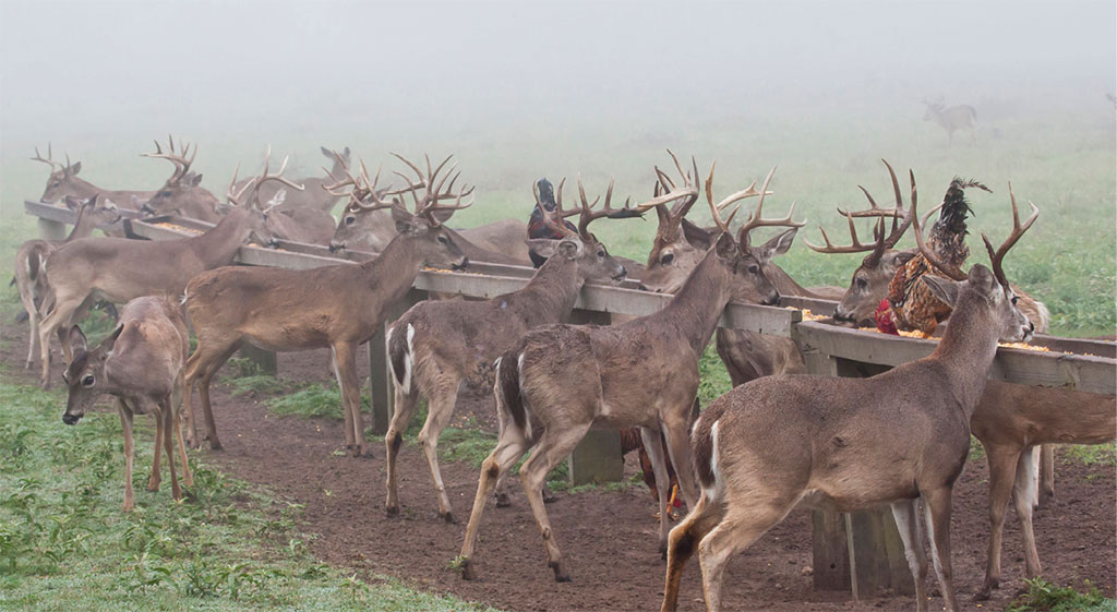 Deer at breeding farms are fed high-protein, mineral-rich diets to accelerate body and antler growth. Photo by Danita Delimont / ALAMY STOCK photo