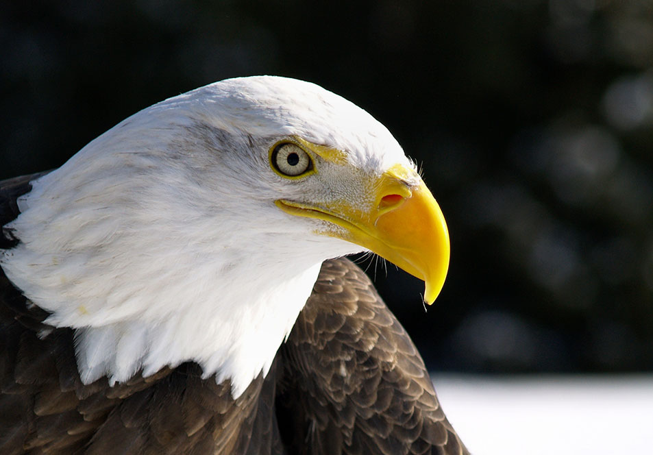 It took the bald eagle more than 30 years to rebound enough to warrant delisting in 2007. Photo Eric Bégin