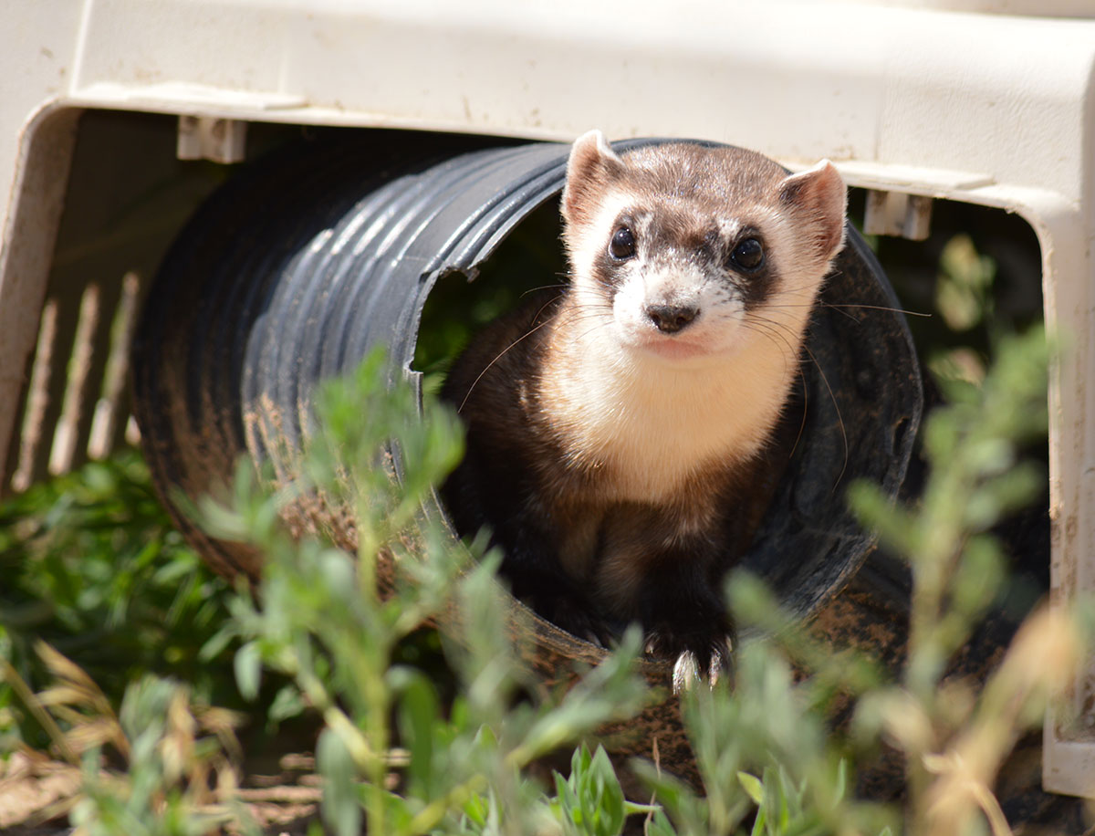 A multi-stakeholder reintroduction effort has helped prevent the black-footed ferret from disappearing from the Northern Great Plains. ESA supporters see that as a success story. Its critics probably don't. Photo Ryan Moehring / USFWS