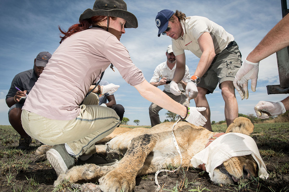 Tourists, who have paid handsomely for the privilege, help fit a GPS collar on a lioness and check her vitals in Zambia's Kafue National Park.