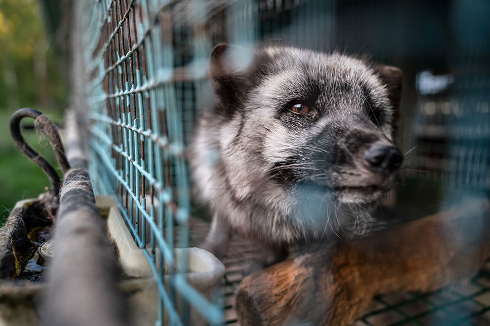 Animals raised on fur farms — like this fox on a fur farm in Finland — typically live out their short lives in small, barren cages. Photo Oikeutta Eläimille