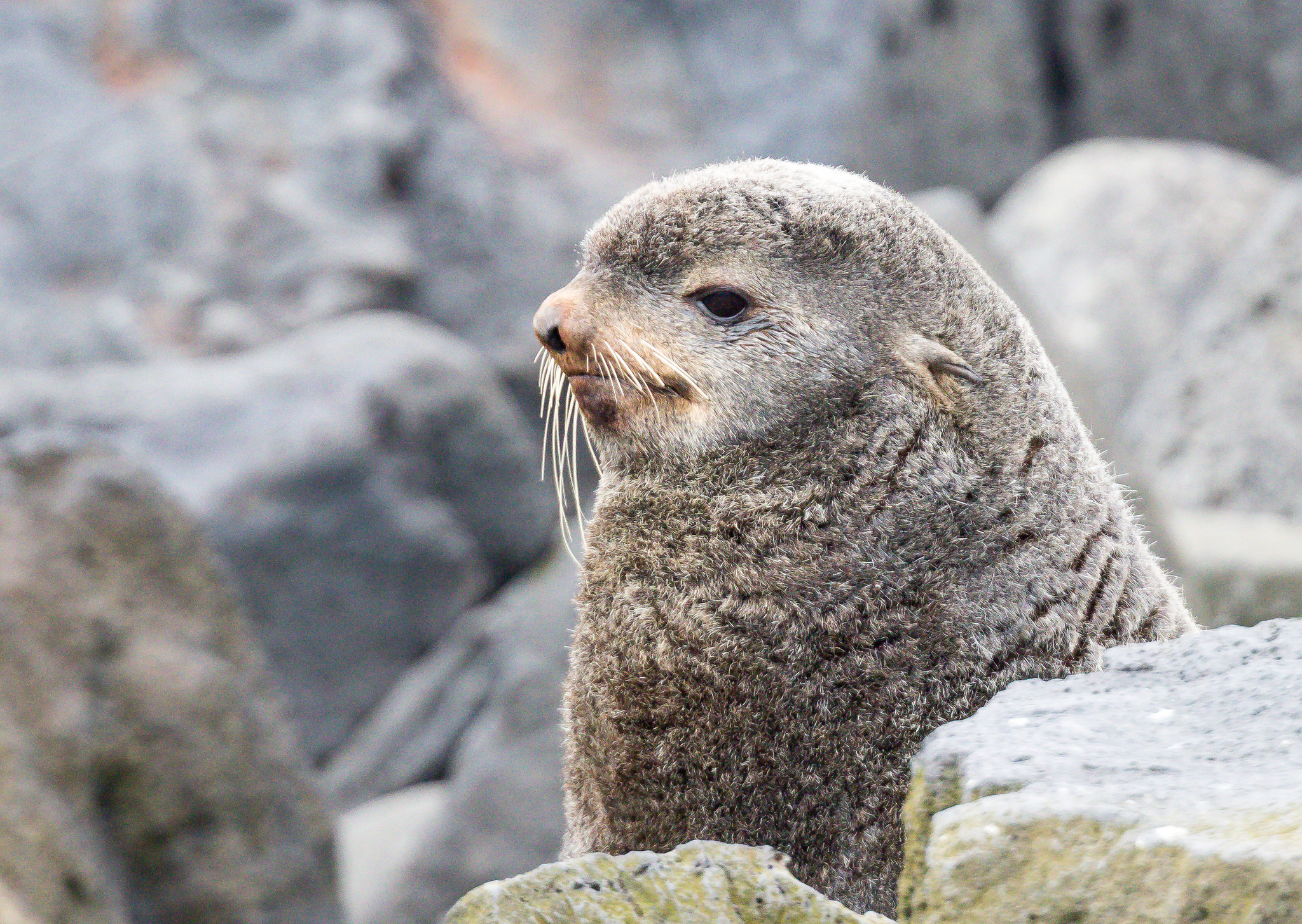 photo of northern fur seal
