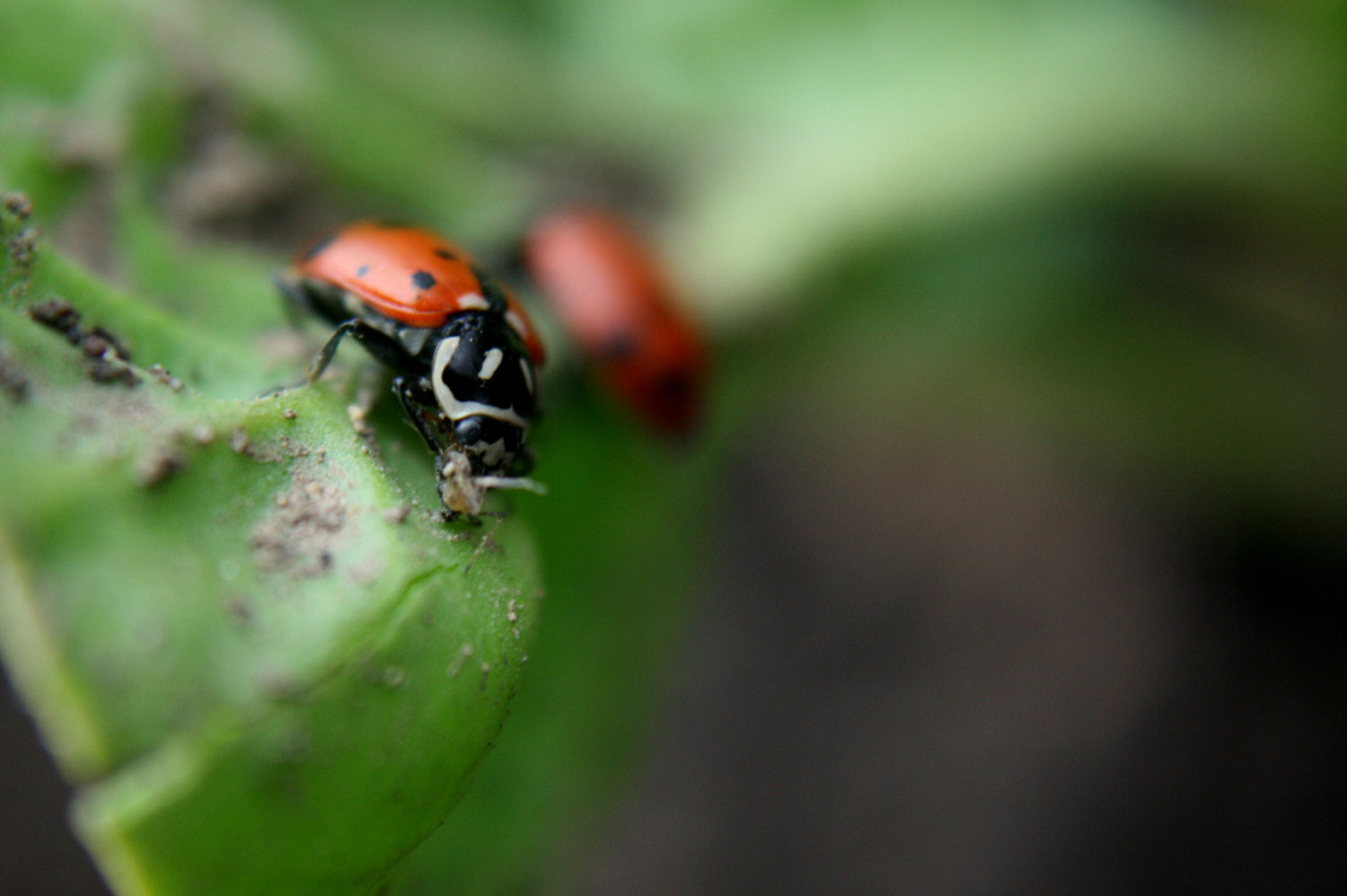photo of a lady bug eating aphid