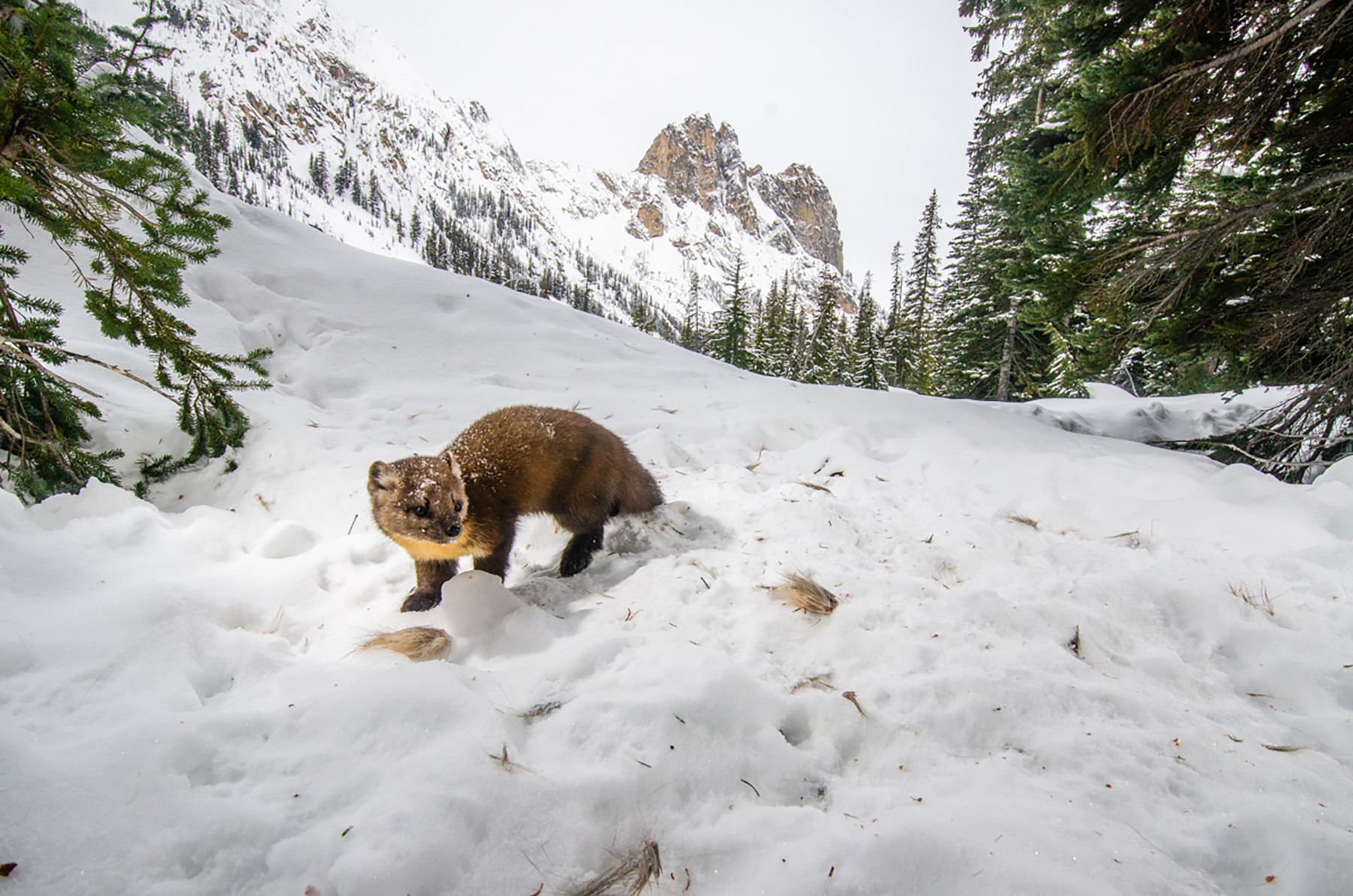 Martens once roamed the Olympic Peninsula. Today, researchers are trying to determine whether a viable population still exists there. Photo by David Moskowitz.