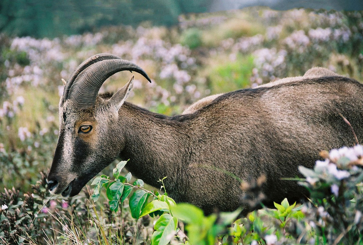 As the Nilgiris have lost grasslands, they have also lost animals that depend on this unique habitat, including the endangered Nilgiri tahr. Photo by Krishanu Seal.