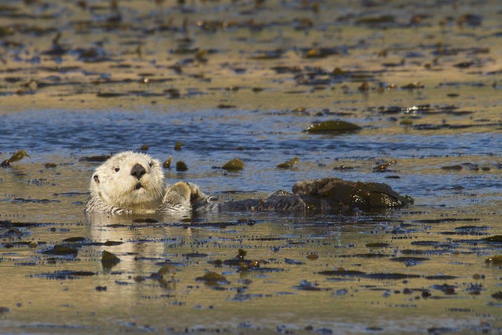 sea otter in kelp forest