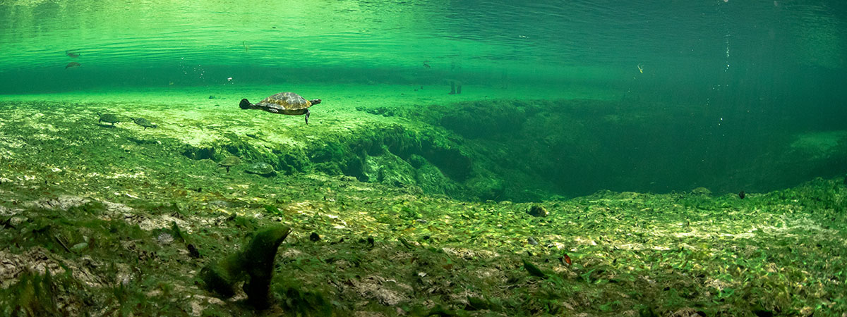 poe springs.uw turtle In: The River of Discords | Our Santa Fe River, Inc. (OSFR) | Protecting the Santa Fe River in North Florida