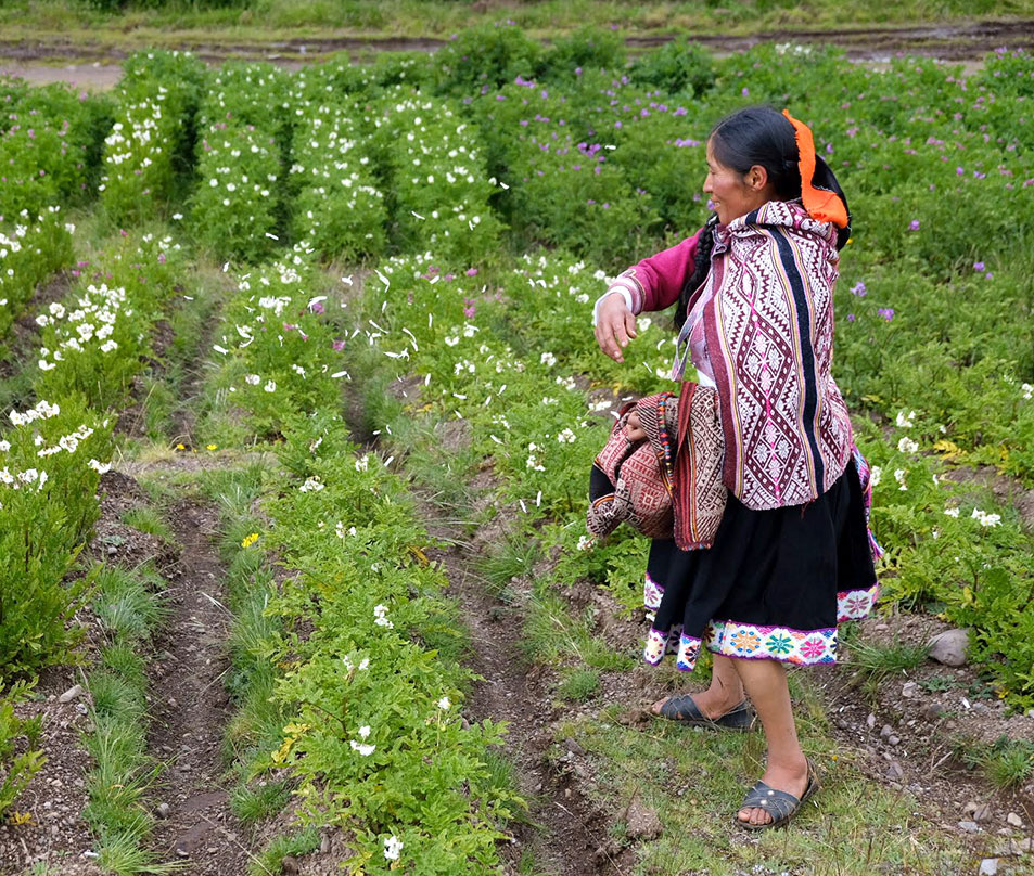 Ricardina Pacco Ccapa, a local leader, performs a ceremony seeking fertility blessings for the potato plants being grown in Parque de la Papa. Photo by Camille von Kaenel.