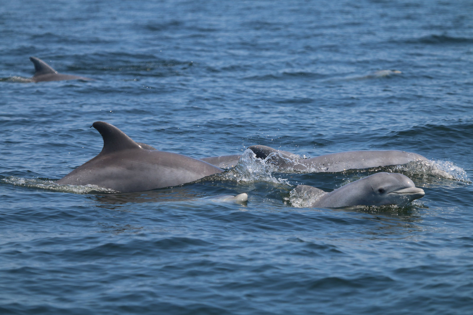 The Roving Dolphins of the Potomac River