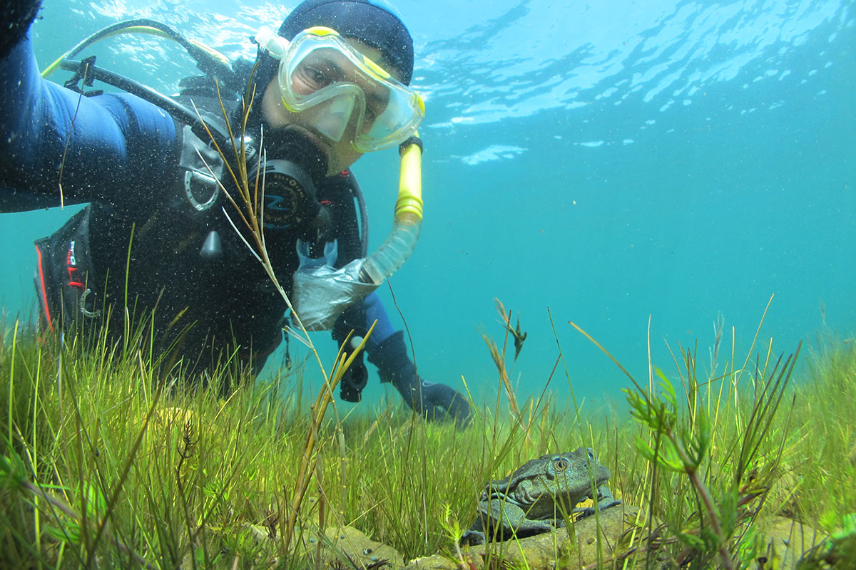 Arturo Muñoz (pictured scuba-diving in Lake Titicaca) has spent the past 10 years championing the cause of the Titicaca water frog. Photo Arturo Muñoz