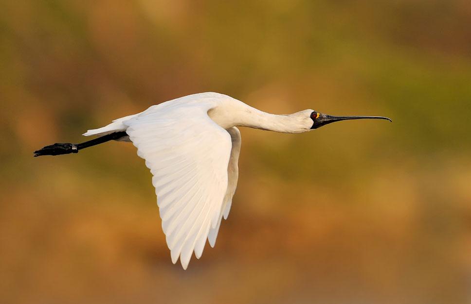 photo of a spoonbill in flight