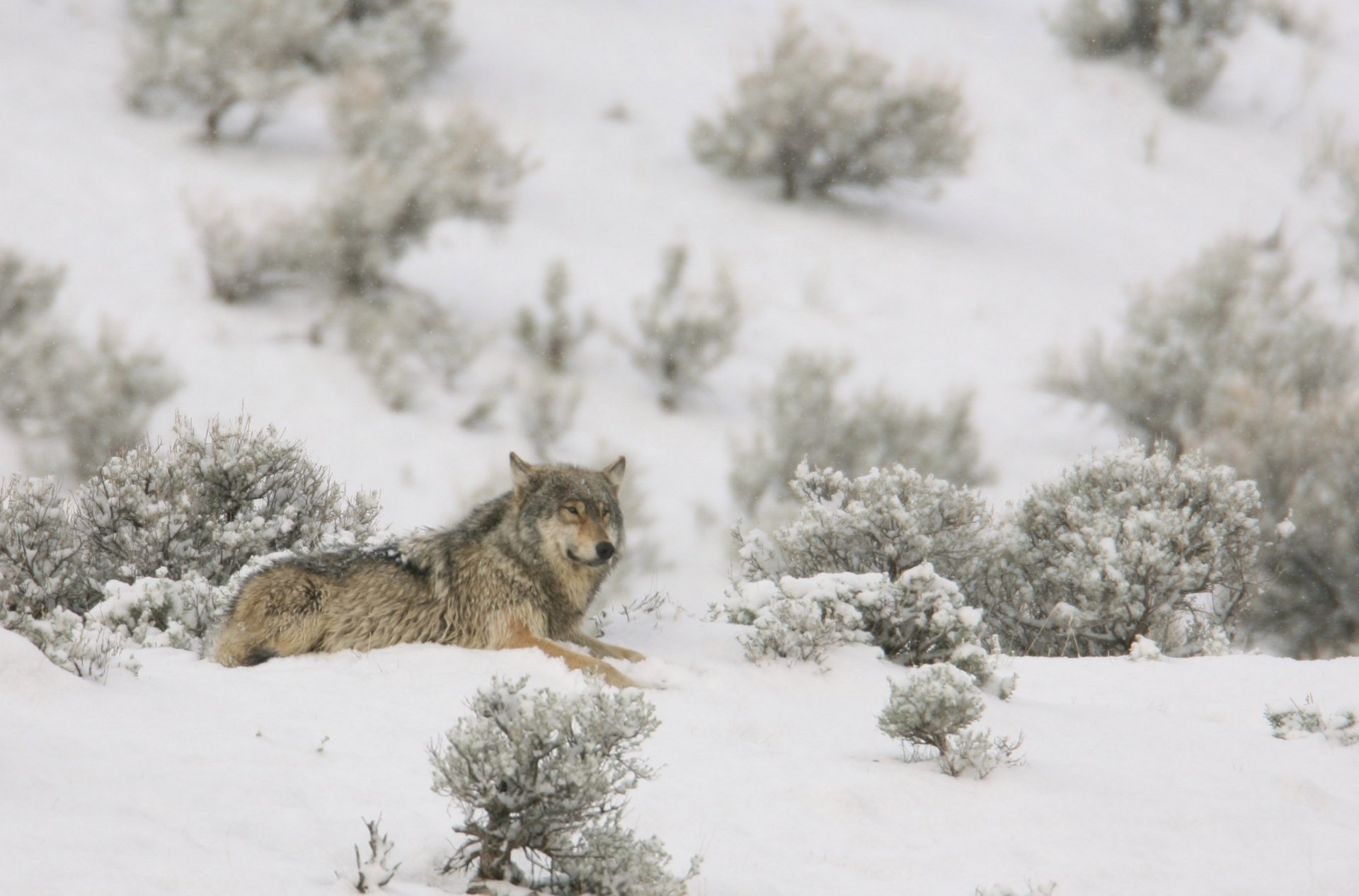 Gray Wolves were listed as endangered in the lower 48 states in 1975. In early March, the Fish and Wildlife Service proposed delisting them. Photo by Jean