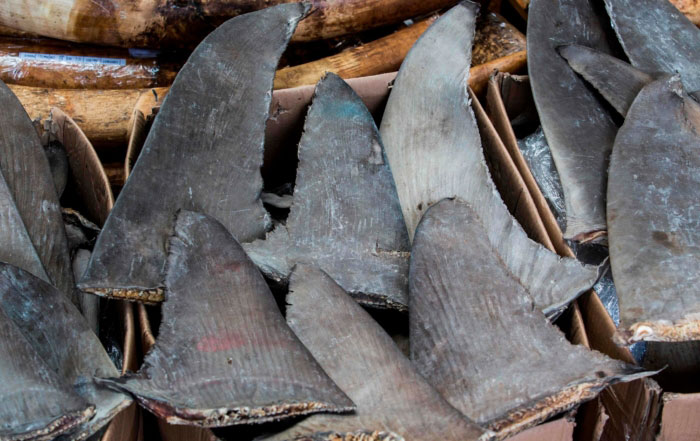 photo of severed shark fins