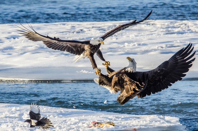 photo of a eagles interacting