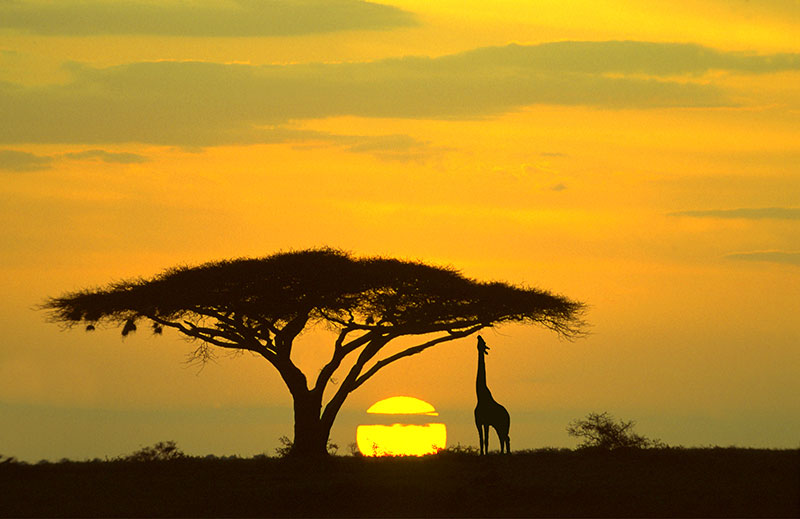 photo of the silhouette of a giraffe and a tree