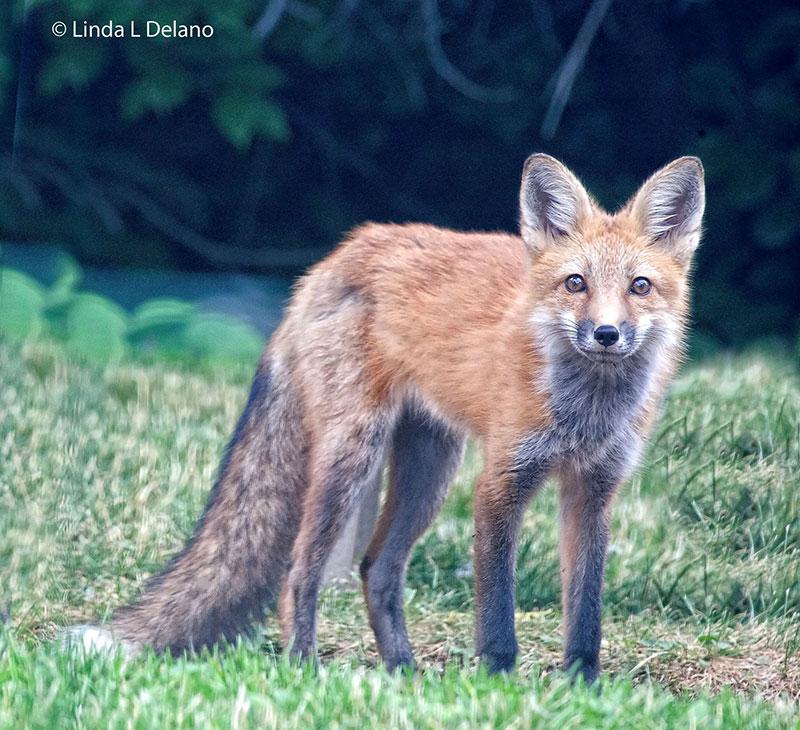 photo of a fox