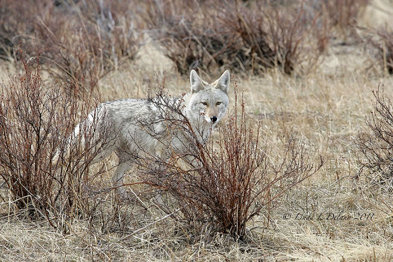 photo of a young coyote in a grassland