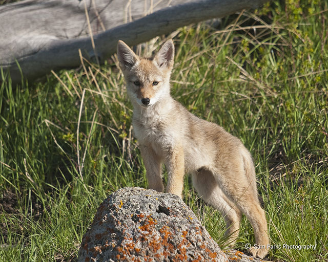 photo of a young coyote