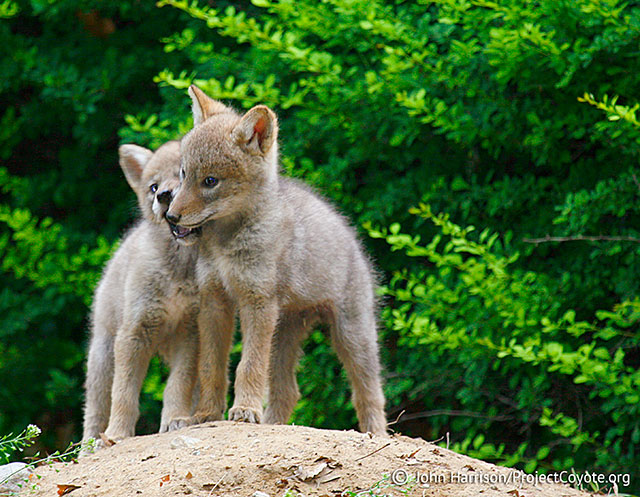 photo of coyote pups tussling