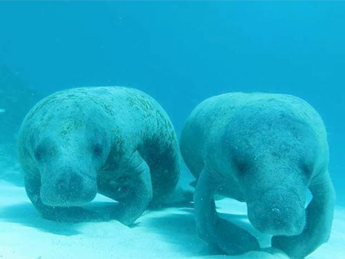 underwater photo of manatees