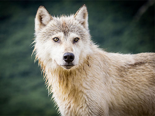 photo a wolf