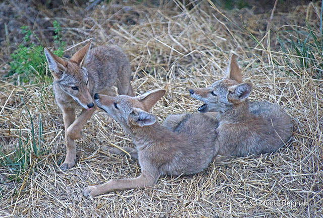 photo people young coyotes