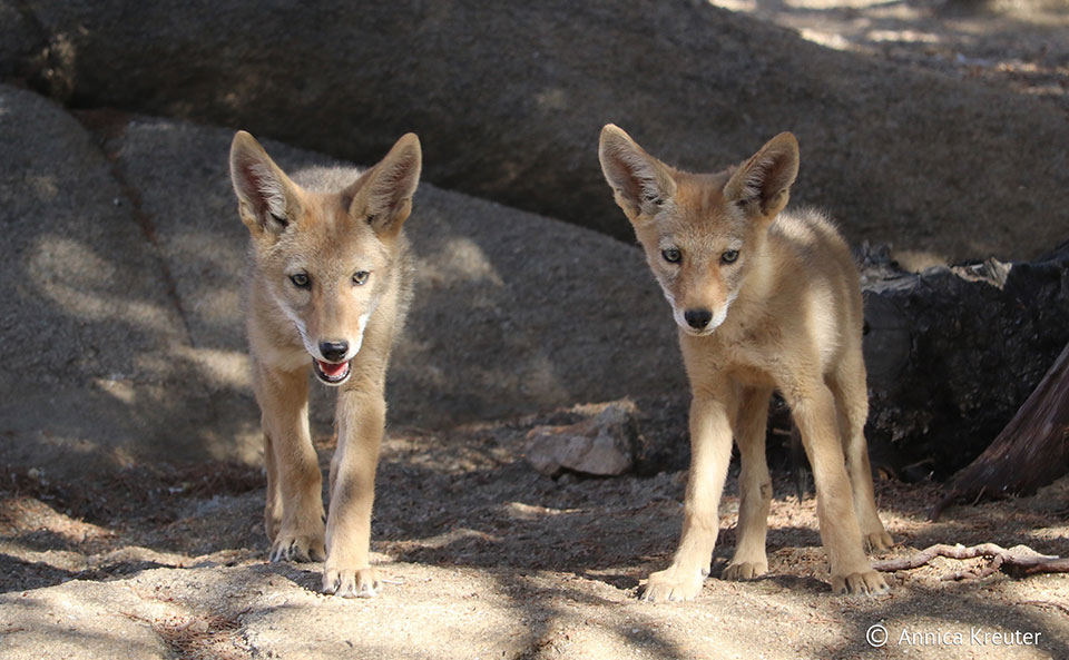photo of coyote pups