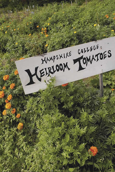 Photo, flowers surround a sign with words: Hampshire College Heirloom Tomatoes